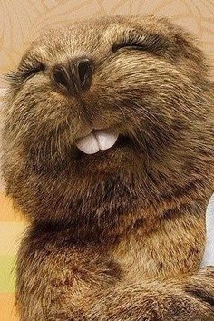 A Beaver's Teeth How Beavers are Teaching Us